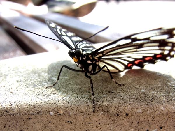 Hestina assimilis(2010.09.26 Tokyo No.002)