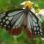 Parantica sita niphonica(2010.06.13 Okinawa No.001-1)