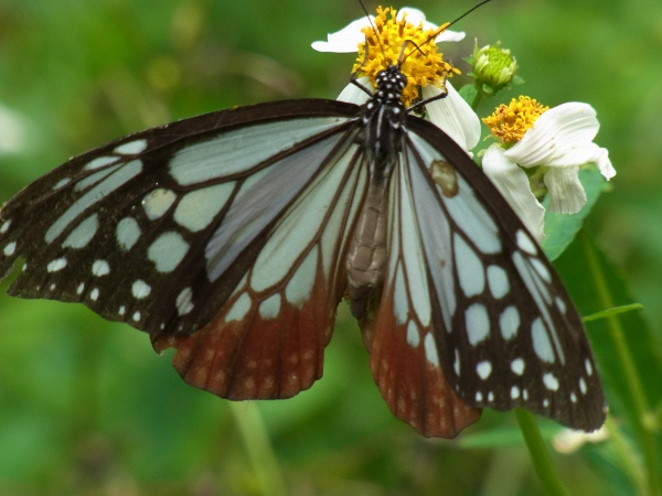 Parantica sita niphonica(2010.06.13 Okinawa No.001-2)