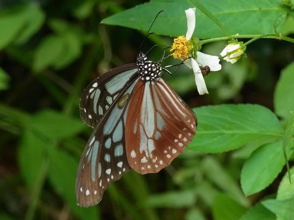 Parantica sita niphonica(2010.06.13 Okinawa No.002)