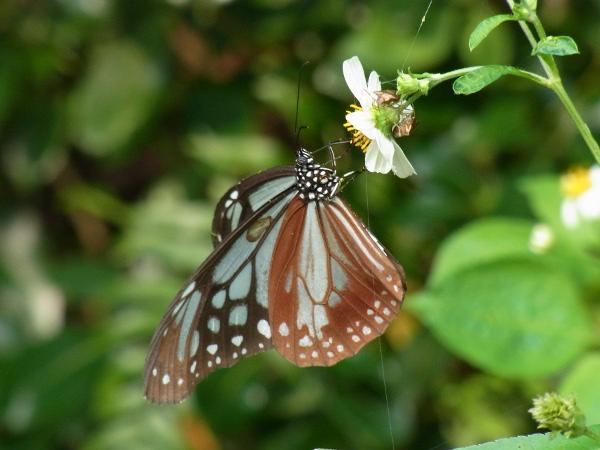 Parantica sita niphonica(2010.06.13 Okinawa No.003)