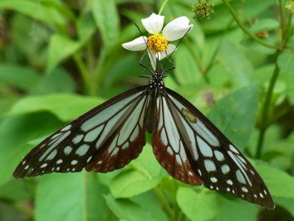 Parantica sita niphonica(2010.06.13 Okinawa No.004)