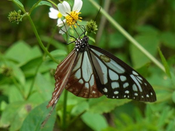 Parantica sita niphonica(2010.06.13 Okinawa No.005)