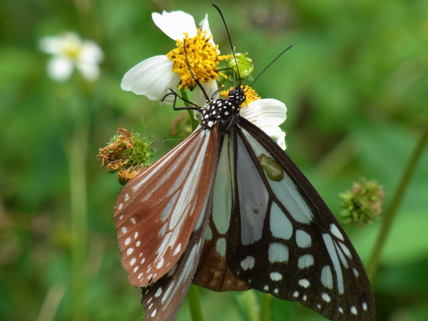 Parantica sita niphonica(2010.06.13 Okinawa No.006)