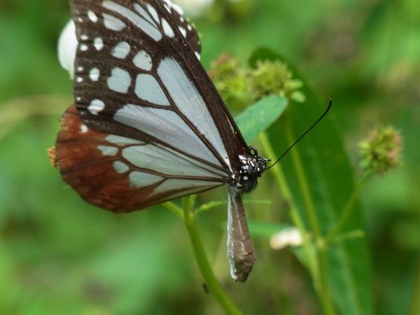 Parantica sita niphonica(2010.06.13 Okinawa No.007)