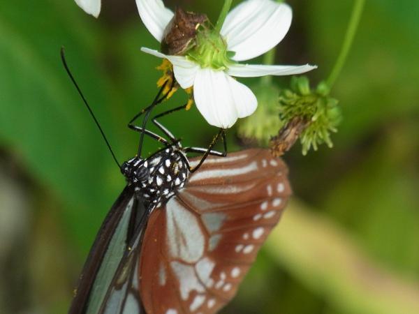 Parantica sita niphonica(2010.06.13 Okinawa No.008)