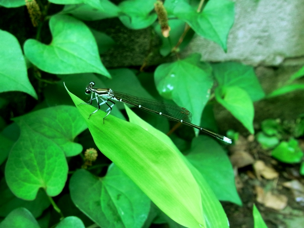 Ischnura asiatica(2010.07.07 Tokyo No001)