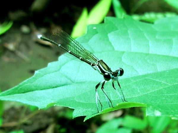 Ischnura asiatica(2010.07.07 Tokyo No003)