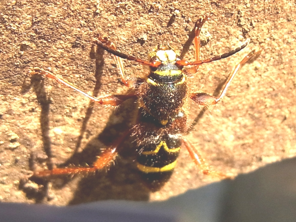 Cyrtoclytus caproides(キスジトラカミキリ)(20130522 Tokyo)